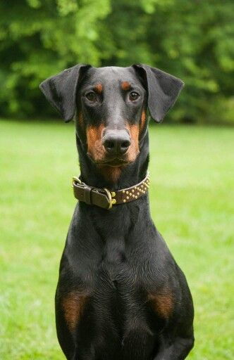 Doberman, absolutely lovely, what a sweet face