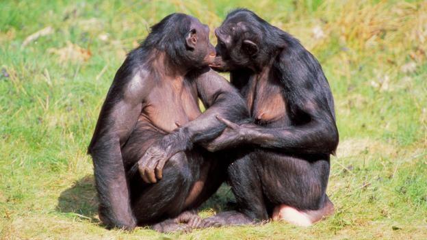 Bonobos seem to be less violent than chimps (Credit: age fotostock/Alamy Stock Photo)