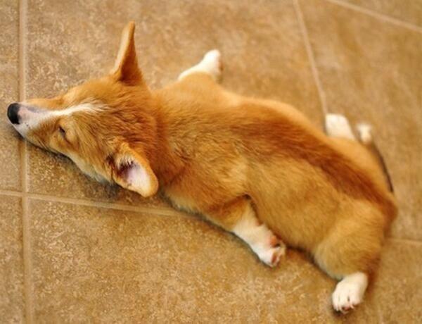 A cute tired corgi http://ift.tt/2oZXnjW