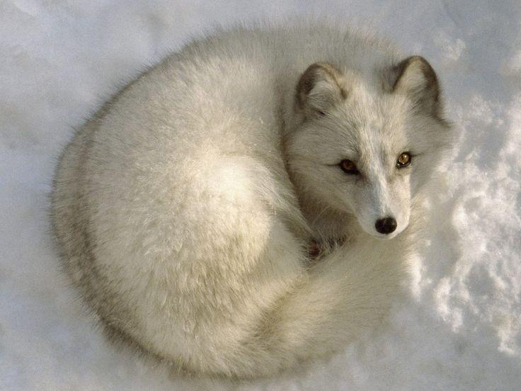 Gratis achtergronden > Dieren > Snow White Arctic Fox