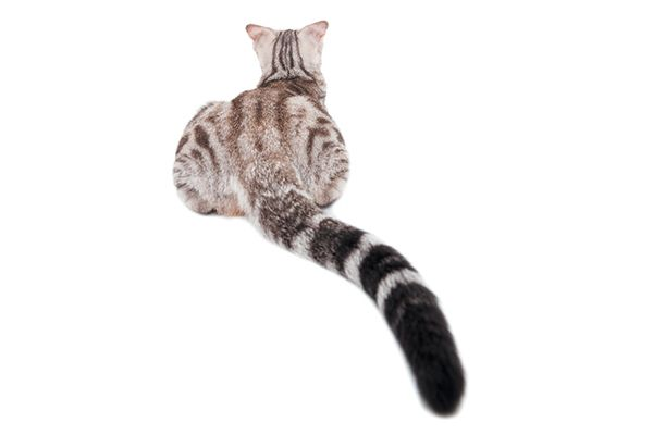 Cat Tail Language: What Your Cat's Tail Is Telling You http://www.catster.com/cat-behavior/cat-tail-language-what-your-cats-tail-is-telling-you?utm_content=buffer33caf&utm_medium=social&utm_source=pinterest.com&utm_campaign=buffer #cats
