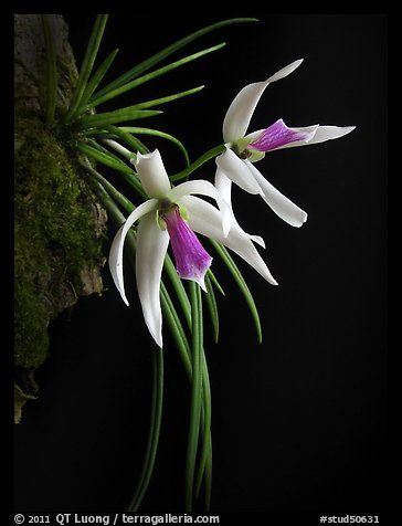 Leptotes bicolor. A species orchid