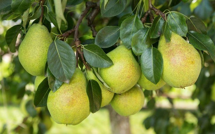 Выращиваем грушу: посадка, уход, обрезка, сорта. Фото - Ботаничка.ru