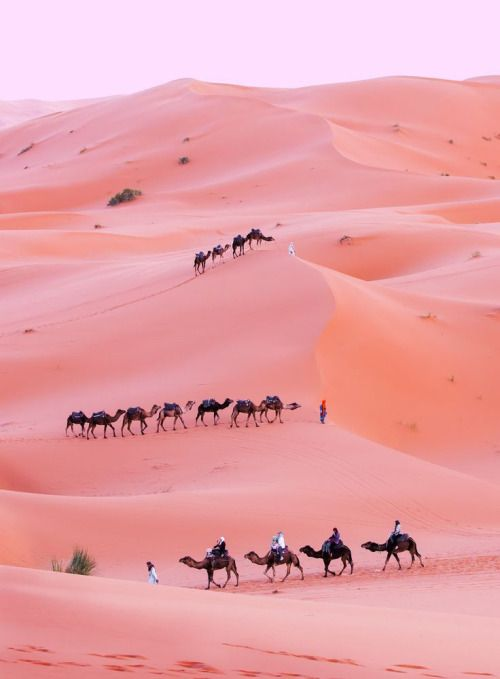 Camels travel through the pink desert sands (Runaway Gypsy)