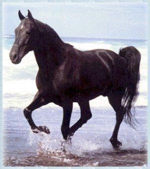 black horses: Beautiful Horses, Sweet Animals ️, Beautiful Black, Animals 3, Black Horsestkc Jiffy