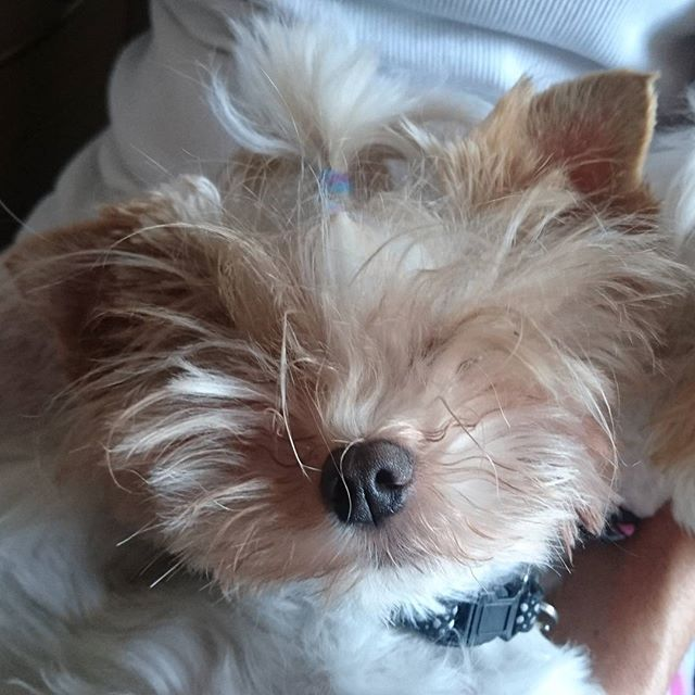 How do you like my hair? I styled it myself.... #hair #hairstyle #badhairday  #yorkie #yorkshireterrier #dog #hund #犬 #愛犬 #ヨーキー #ヨークシャテリア  #yorkiegram #yorkiesofinstagram #yorkies #yorkielove #dogsofinstagram #dogstagram #dogs_of_instagram #doglovers  #わんこ #biewer #cane #犬バカ部 #hundeliebe #いぬ #chien #perro #jorksir