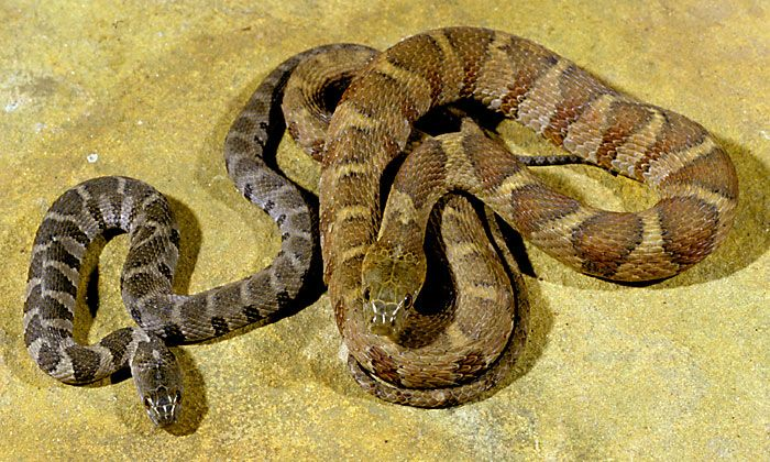 Snakes Of Kentucky Identification Rat Snake Rattlesnake