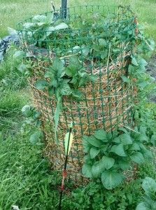 Some tips for better production from a potato tower: a potato tower that is working correctly will be covered in green, from base to top. If you only see green at the top, you're going to get a poor harvest.