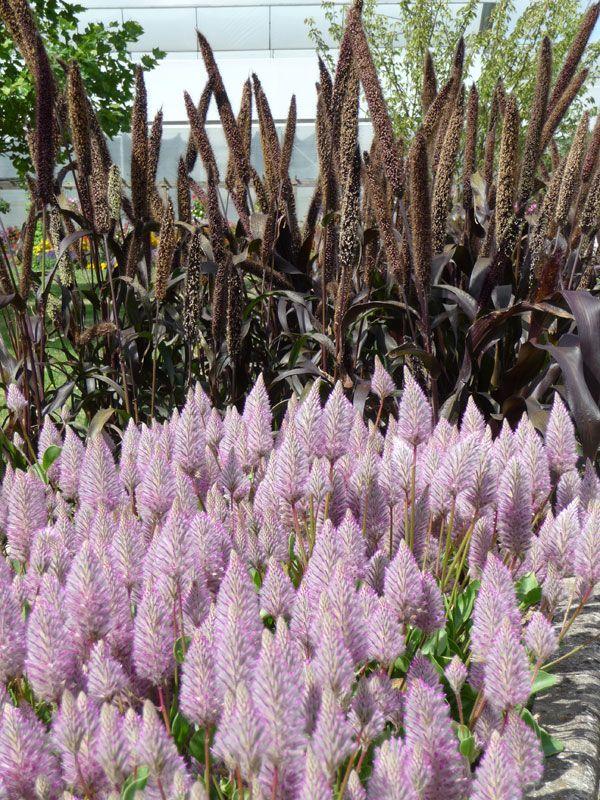 Ako sadiť trvalky   Kvety a Záhrada Ptilotus v ružovej farbe a Pennisetum glaucum v hnedej. Veľmi pekná kombinácia do záhrady