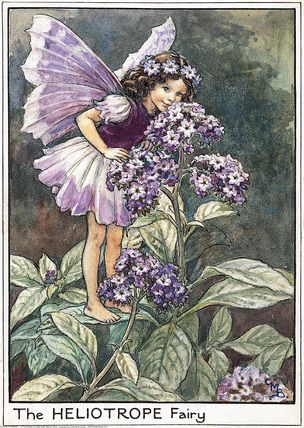 Jerry Newhouse.  I miss you my friend and will think of you as I garden.  Heliotrope Fairy - Cicely Mary Barker - Flower Fairies of the Garden