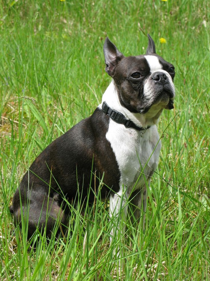 Boston terrier puppies for sale from reputable dog breeders, The boston terrier is eager and quick to learn. Description from dogbreedspicture.net. I searched for this on bing.com/images