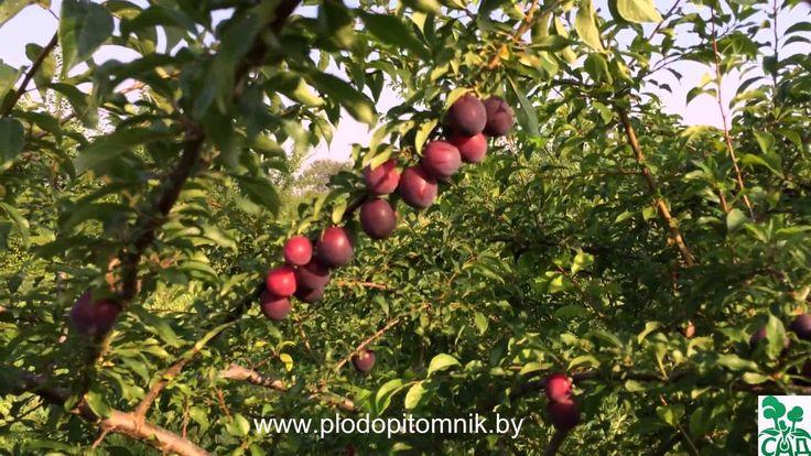 Алыча крупноплодная (слива диплоидная) разных сортов, плодоношение