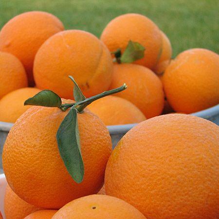 Calamondin Orange Tree for Sale
