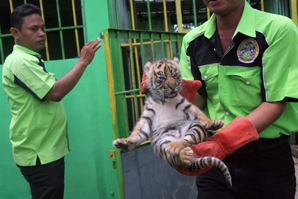 Anak-anak Harimau Sumatera