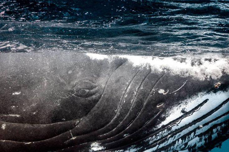 Atemberaubende Bilder von Neugeborenen Walen im Südpazifik