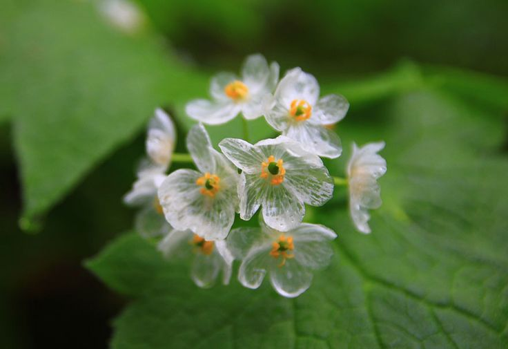 Diphelleia grayi, commonly called Skeleton Flower, has white blossoms whose petals turn crystal clear when they make contact with water. The plant grows on moist, wooded mountainsides in colder regions of Japan, China and the Appalachian Mountains in the United States,
