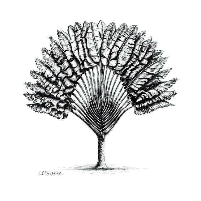 Les 8 meilleures images du tableau arbre du voyageur sur - Voyageur dessin ...