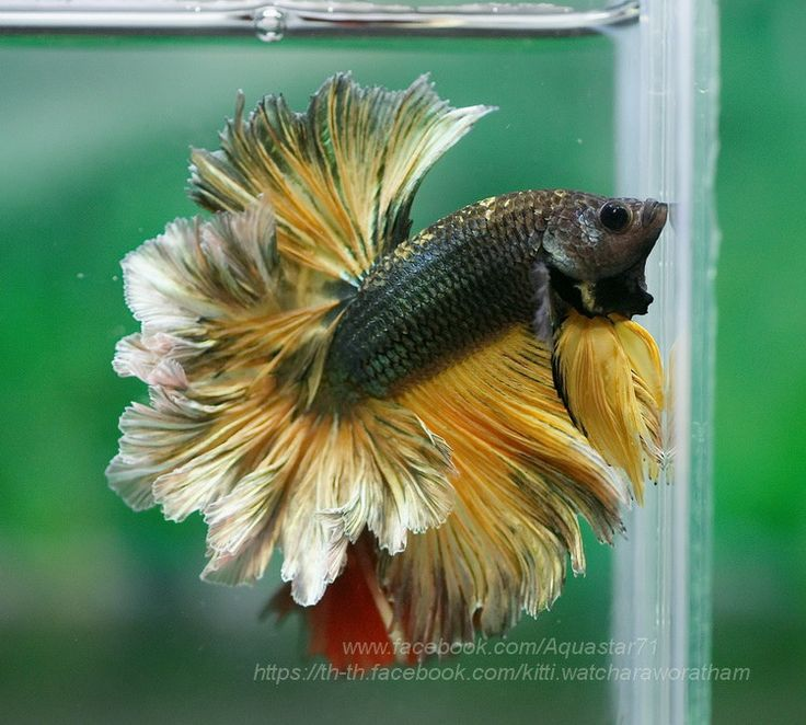 Flickr halfmoon bettas pinterest betta betta fish for How long can a betta fish live