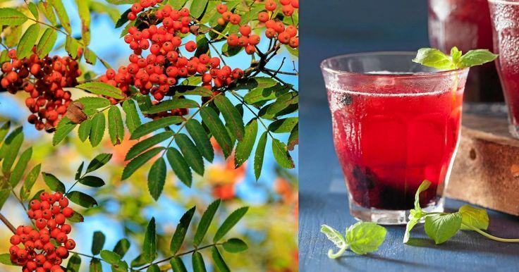 Gör supernyttig rönnbärsdricka – härligt frisk och god! | LAND.se