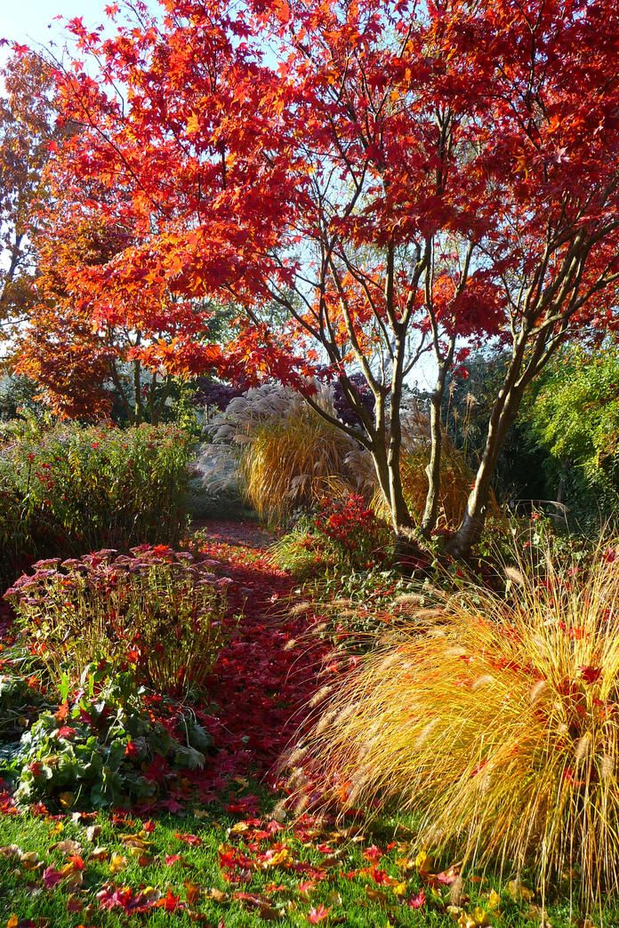 Herbstlicher Garten mit Ahorn und Ziergras