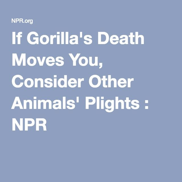 If Gorilla's Death Moves You, Consider Other Animals' Plights : NPR