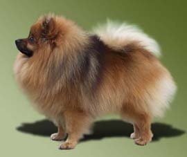 My kind of pomeranian:  the deutscher spitz.  (He thinks he is a BIG DOG!)