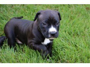 cutest pitbull puppy ever!