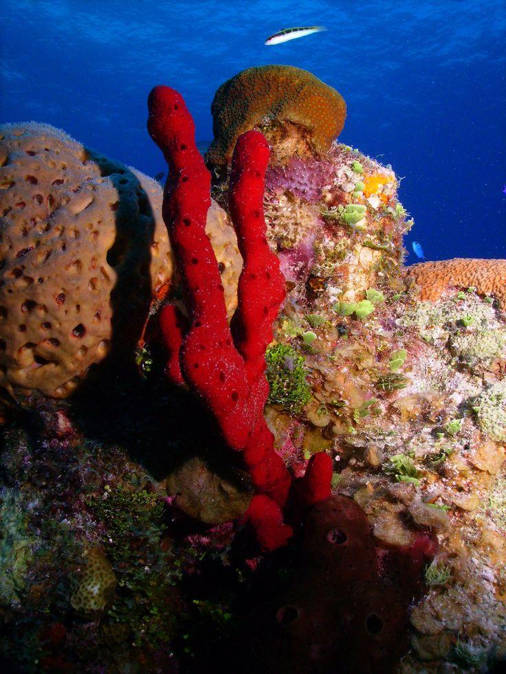 Mejores 11 imágenes de Phylum Porifera en Pinterest | Biología, Vida ...