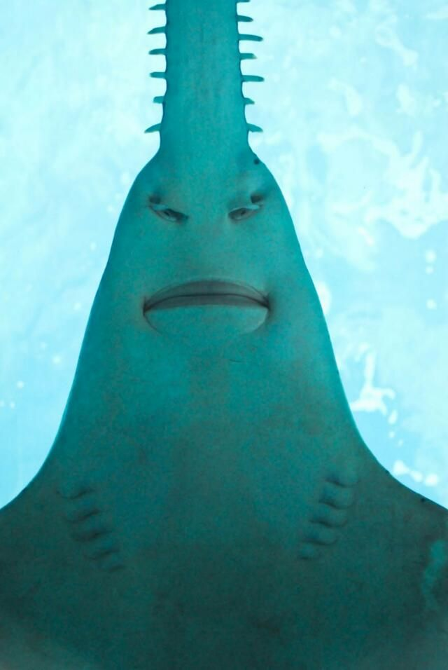 Saw shark from below photographed by Angie Cousins (2011). via a giggle a day blog