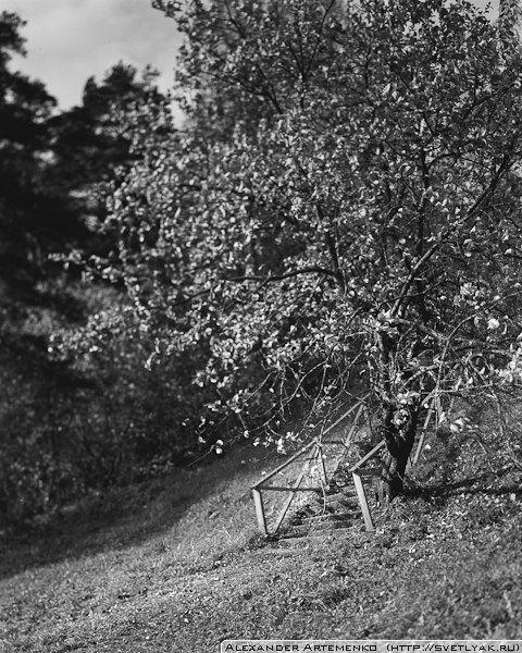 Old Apple Tree.    Linhof Technika iii 4x5, Rodenstok 150mm. Ilford Delta100.
