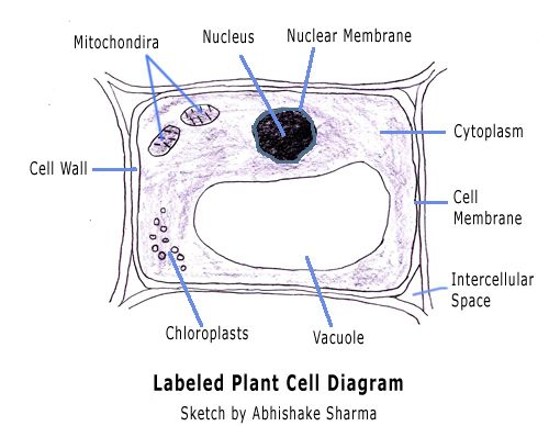 Plant Cell Diagram Labeled With Functions