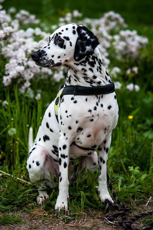 Dalmatian  Photograph by Martin  FF