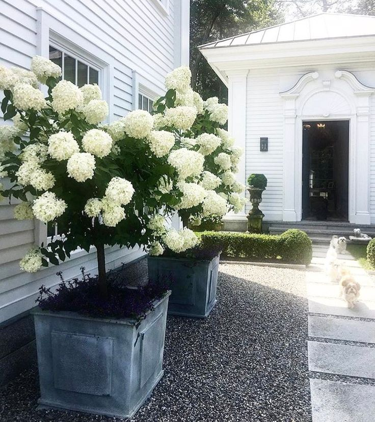 """6 Likes, 1 Comments - Pencil and Paper Co (@pencilandpaperco) on Instagram: """"We planted """"big potted white hydrangeas"""" earlier this Summer..... still holding out hope that they…"""""""