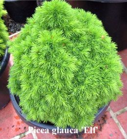 43 best dwarf evergreens for containers as a topiary images on