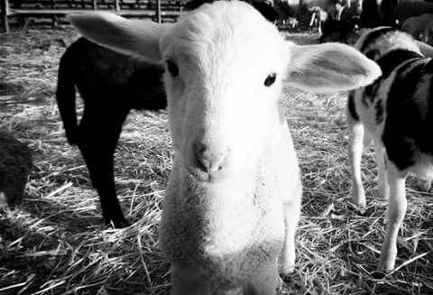 Con esta foto quiero hacer ver a los niños que los animales son buenos y no se tiene que tener miedo. También para que vean un cordero de un mes y medio. Foto realizada en Bogajo Salamanca