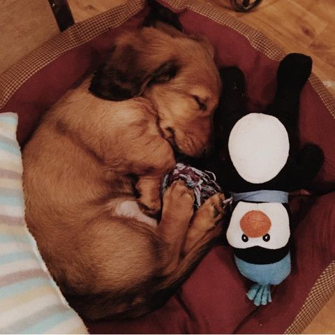 Truffle the Dachshund dog asleep in the office.