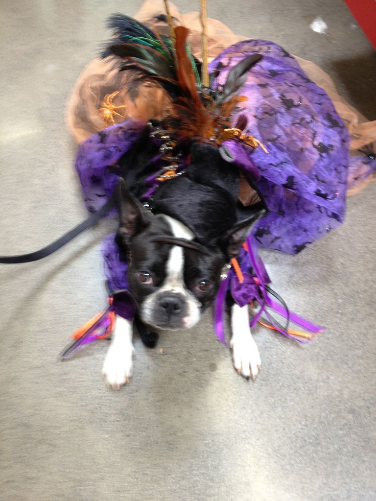 43 best halloween costumes for boston terrier images on