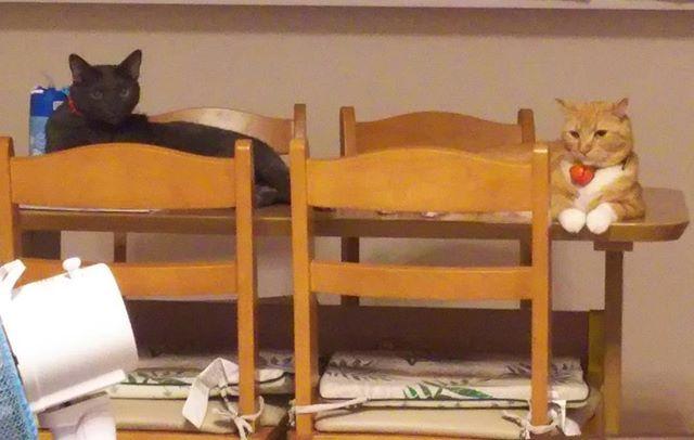 猫にひき。  ダイニングテーブルでまったりまったり😻  #愛猫#ロシアンブルー#アメリカンカール#マリン#バロン#多頭飼い #レッドタビーホワイト#ブルー#首輪買い換え #ドラえもん鈴
