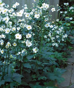 Fall-Blooming Anemones: A perennial expert picks the cream of the crop. Read his choices here http://www.finegardening.com/design/articles/japanese-anemone-fall-blooming.aspx#