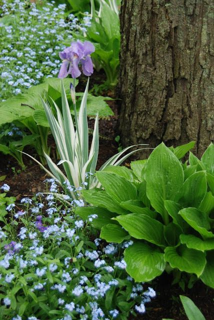 n the Shade Path Garden stands Iris pallida variegata with its white and green punctuating foliage among the broad leaved hostas and billowing forget-me-nots (Myosotis).