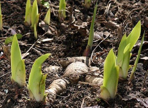 Чем подкормить ирисы весной? Конечно же, азотными удобрениями для активного роста (аммиачная селитра). А для цветения понадобится калий и фосфор (сульфат калия).