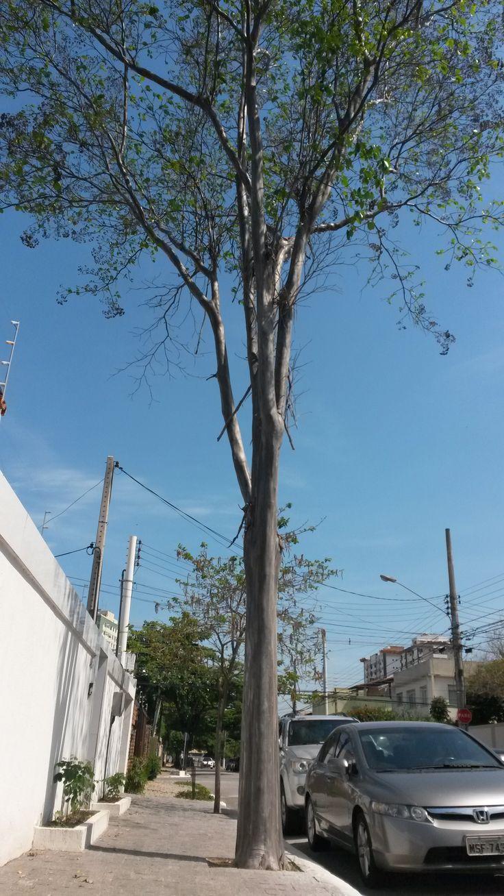 O pau-mulato (Calycophyllum spruceanum (Benth.) K. Schum.), também chamado mulateiro, é uma planta da família Rubiaceae, própria das várzeas do Rio Amazonas, na América do Sul. É uma árvore de crescimento lento, que pode atingir 15-40 metros de altura e 4-5 metros de diâmetro, com copa colunar. A floração produz flores brancas entre maio e junho. O tronco é retilíneo, com a casca lisa e brilhante, de cor bronzeada. É uma planta de difícil reprodução. https://pt.wikipedia.org/wiki/Pau-mulato