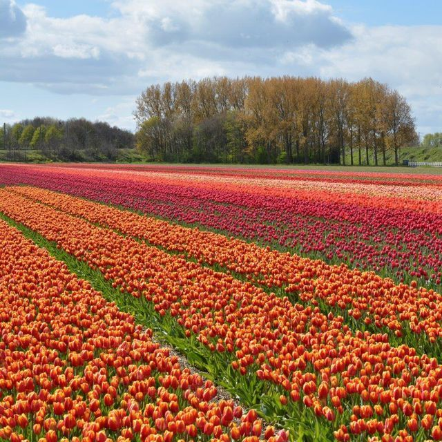 Our Tulip Fields Blooming In Spring Every Year It Is A Flower Party Again When The Tulips Start Blooming The Ultimate Spring Feeling Nice Selection Nederland