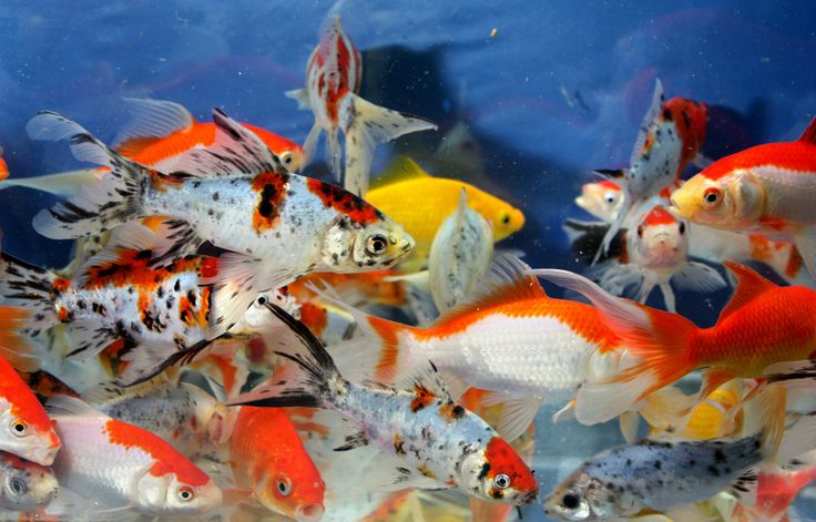 Sarasa comet goldfish live goldfish red yellow comet for What fish can live with goldfish in a pond
