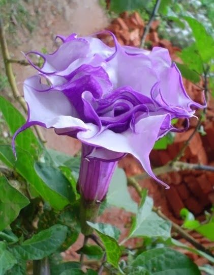 Purple Datura - Poisonous Devil's Trumpet, Horn of Plenty, Downy Thorn Apple Datura metel 'Double Purple' Annuals Tropicals and Tender Perennials