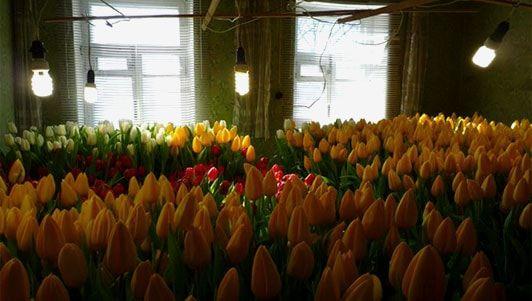 выгонка тюльпанов домашний бизнес