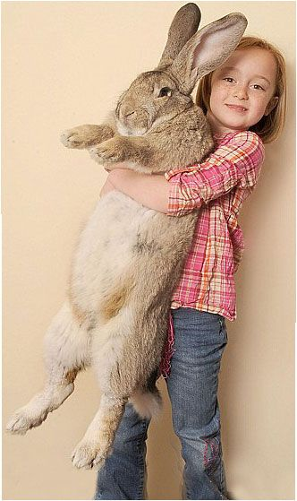 """World's Biggest Rabbit: Darius (2011) - photo from myfurrybestfriends blog; Darius is 4'3"""" long from his nose to his tail, and weighs 50 pounds. (Guinness World Records now bases """"The World's Largest Rabbit"""" on length, not weight. They worried that people may overfeed their pets to get them in the record book.)"""