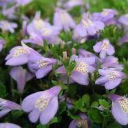 Mazus Reptans - fabulous low growing creeping perennial