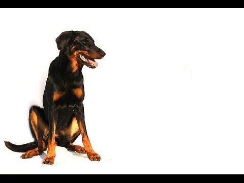 ***Beauceron Puppy Training Free-Mini Course***