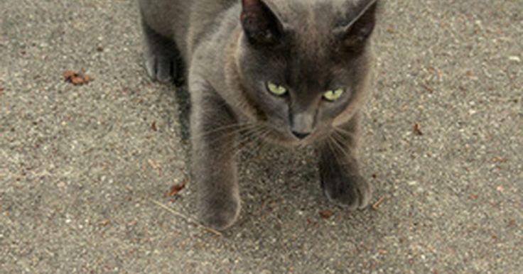 Diabetes e tremores em felinos. Diabetes felina é uma doença em que o corpo do gato não quebra o açúcar no sangue de forma adequada. Veterinários frequentemente medicam os gatos para regular o açúcar no sangue. No entanto, o açúcar no sangue do gato pode cair muito por causa da medicação, especialmente se ele não comer o suficiente. O baixo nível de açúcar no sangue provoca ...